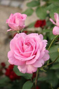 Hybrid Tea Rose: Rosa 'Pink Lustre' (1957?)