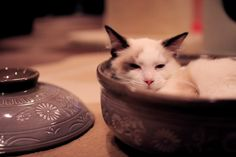 鍋の季節 (cat cafe きゃりこ) : 猫山細道の雑記帳