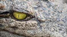 A new study reveals how crocodiles' eyes are fine-tuned for lurking at the water surface to watch for prey findings suggest that although the beasts have very blurry vision underwater they do use their eyes beneath the surface.