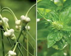 Herbs: 10 favorites for Ohio Vegetable Gardening, Gardening Tips, Farmer's Daughter, Sustainable Food, Garden Items, Edible Plants, Natural Cures, Botany, Amazing Gardens