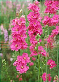 DAMAGRO FARMS, hot pink larkspur