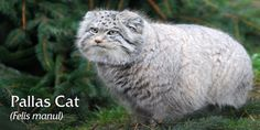 Pallas' Cat (Felis manul) - photo from Highland Wildlife Park in Scotland;  They are a wild cat found in Iran, China, Russia, Mongolia and Tibet, living in rocky deserts and barren mountainous regions. They have dense fur to cope with their cold, dry environment.  They are considered Near Threatened.