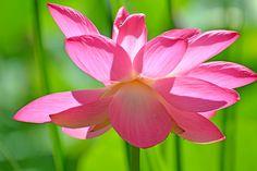 Afbeeldingsresultaat voor fotos lotus flower