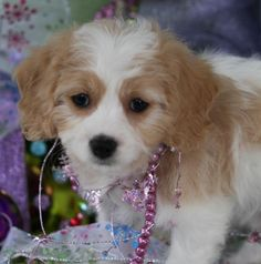 Cavachon Puppy From Foxglove Farm