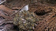 Japanese Honey Bee's creating a bee ball to kill invading Japanese wasps. They flap their wings till it gets so hot the wasp dies.