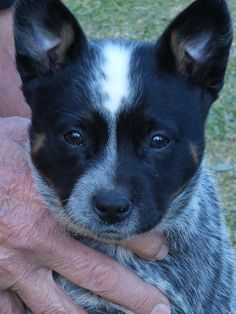 My Dad is holding me up for portrait. Australian Cattle Dog Puppy, Austrailian Cattle Dog, Baby Dogs, Dogs And Puppies, Blue Heelers, Cattle Dogs, Raining Cats And Dogs, Dog Rules, Pretty Baby
