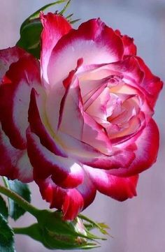 If you are thinking of rose gardening don't let this rumor stop you. While rose gardening can prove to be challenging, once you get the hang of it, it really isn't that bad. Beautiful Rose Flowers, Pretty Roses, Flowers Nature, Exotic Flowers, Amazing Flowers, Beautiful Flowers, Purple Flowers, Beautiful Things, Bloom