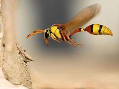 Wasp, in flight