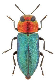Anthaxia nitidula (Linnaeus, 1758) ♀