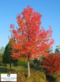 sweet gum tree liquidambar