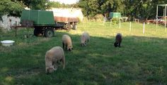 Sauvignon Blanc, Live, Sheep, Wine
