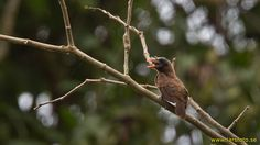 3828_Bristle-nosed_Barbet_Gymnobucco_peli_Kakum_National_Park_Ghana_20130124_1_1600_copy.jpg (1600×900)
