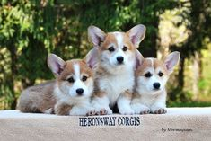 bowes pembroke welsh corgi puppies