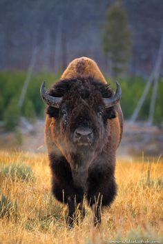˚Bison Bull - Yellowstone National Park, Wyoming