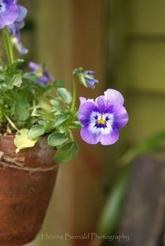 "nice ""looking"" pansy......♔.."