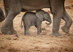Baby Animals From : – Mommy frame . For info about promoting your elephant art … Elephant Love, Elephant Art, African Elephant, Elephant Gifts, Baby Elephants, Elephant Images, Elephant Stuff, Elephant Pictures, Mama Elephant