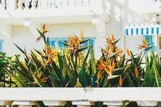Birds of (French) paradise + extra lush (FaithieImages) French Riviera, Lush, Paradise, Birds, Landscape, Plants, Photography, Inspiration, Image