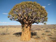 CAUDICIFORM Aloe dichotoma