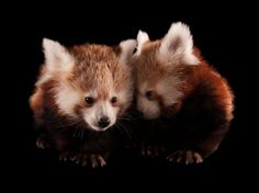 red panda is mainly nocturnal (or rather, twilight), sleeping during the day in a hollow, curled tail and head covering.