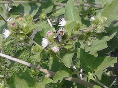 Bees loved my burdock, yes burdock, that awful sticky plant that most people pull out of their yards.