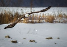 A Winter Bald Eagle in Flight