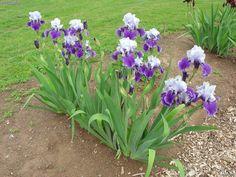 White and Purple Bearded Iris | ... album iris blooms at delaware valley college album tall bearded iris