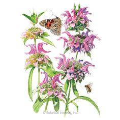 Lambada Bee Balm Seeds , View All Flowers: Botanical Interests