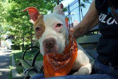 CLOUD - A1116387 - - Manhattan  TO BE DESTROYED 06/30/17  A volunteer writes: It was a beautiful cloudless summer morning, and the best and brightest cloud of all was snuggled on my lap. A tiny wisp of a boy, Cloud was found wandering the streets with his friend Cookie (A1116388). Both were taken in by a kind person and then brought to our care. We're told that Cloud was gentle with the children in the home (ages 3mos. and 12yrs), is gentle and exuberant when playing
