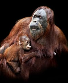 A mother orangutan holds her baby. Taken at Melbourne Zoo, Australia by Arthur Xanthopoulos. http://www.damagedphotography.com/