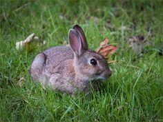 https://flic.kr/p/LPMv3X | Rosedale Bunnikins 2 | A young rabbit out grazing near the Bow Bridge , aka High Bridge, in Rosedale Abbey