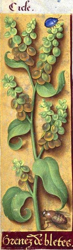 Grenez de bletes - Cicle (Atriplex hortensis L. = arroche en graines) -- Grandes Heures d'Anne de Bretagne, BNF, Ms Latin 9474, 1503-1508, f°9v