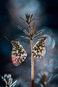 *Butterflies