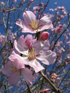"""""""I said to the almond tree, """"Friend, speak to me of God,"""" and the almond tree blossomed. Apple Blossom Flower, Almond Flower, Almond Blossom, Blossom Trees, Spring Blossom, Exotic Flowers, Amazing Flowers, Beautiful Flowers, Language Of Flowers"""