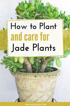 succulent garden care A jade plant is a succulent and houseplant that is incredibly easy to care for. Learn how to plant and grow it inside your home or in your garden! Jade Plant Care, House Plant Care, House Plants, Landscaping Supplies, Landscaping Tips, Garden Landscaping, Succulents Garden, Planting Flowers, Propagate Succulents