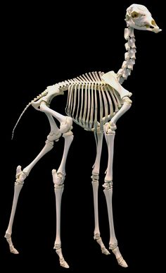Muséum d'histoire naturelle de Nantes - Squelette de giraffe   Giraffe // Girage // skeleton // bones // anatomy