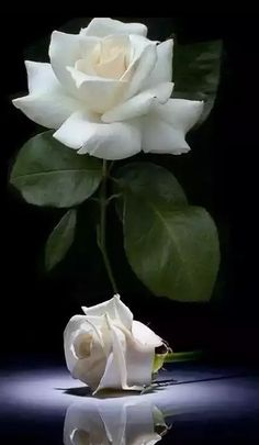 White romance favorite roses pinterest rose white roses and magnificent beauty mightylinksfo