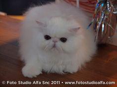 Il gatto persiano e il suo carattere gatto persiano bianco – PetPassion Blog