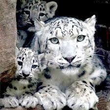 Resultado de imagen de leopardo nieves