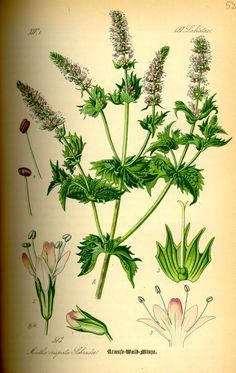 Mentha spicata-Spearmint or spear mint نعناع زینتی نام یک گونه از سرده نعنا است.
