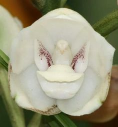 The Dove Orchids GOD'S design is everywhere Strange Flowers, Unusual Flowers, Rare Flowers, Amazing Flowers, Beautiful Flowers, Weird Plants, Unusual Plants, Exotic Plants, Cool Plants