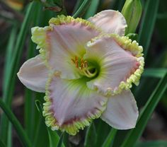 Photo of Daylily (Hemerocallis 'Princess Diana') uploaded by mbouman Real Flowers, Beautiful Flowers, Daylily Garden, Perennial Bulbs, Green Rose, Day Lilies, Flower Pictures, Tropical Flowers, Princess Diana