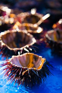 Sea Urchins, all you need is bread, lemon and olive oil!
