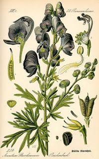 List of Poisonous Plants and Herbs and Their Lore Wolfsbane is a plant steeped in werewolf legend and lore.Wolfsbane is a plant steeped in werewolf legend and lore. Vintage Botanical Prints, Botanical Drawings, Botanical Illustration, Deadly Plants, Poisonous Plants, Botanical Flowers, Botanical Art, Botanical Posters, Illustrations Harry Potter