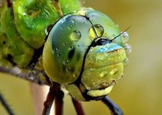 Image result for macro dragonfly