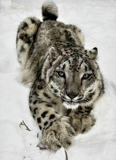 Unusual big cat