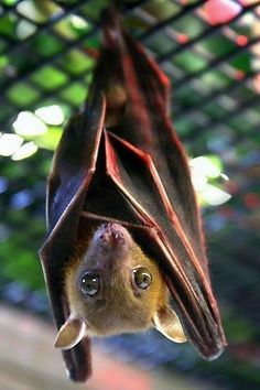 dog-faced fruit bat From fickr - part of . This is a dog-faced fruit bat. Murcielago Animal, Animals And Pets, Cute Animals, Strange Animals, Bat Species, Endangered Species, Fruit Bat, Baby Fruit, Baby Bats