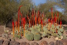 "Phoenix's Desert Botanical Garden : "" ""Chihuly: The Nature of Glass"""