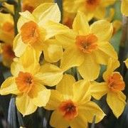 Narcissus 'Falconet' (Daffodil 'Falconet') Click image to learn more, add to your lists and get care advice reminders each month.