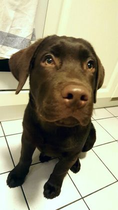 Looky :) Labrador Retriever, Dogs, Animals, Labrador Retrievers, Animales, Animaux, Animal Memes, Animal, Pet Dogs