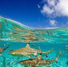 Sharks, Caribbean.